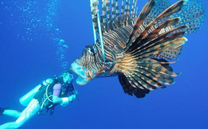 ベリーズの海で外来種のミノカサゴの捕獲に取り組む海洋環境保護ボランティア